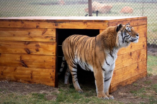 Happy End: Tiger Caruso findet neues Zuhause in LIONSROCK