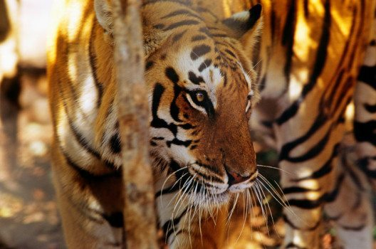 Indischer Tiger (Panthera tigris tigris) (Bild: © David Lawson / WWF-UK)