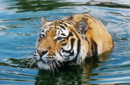 Sibirischer Tiger (Panthera tigris altaica) (Bild: © David Lawson / WWF-UK)
